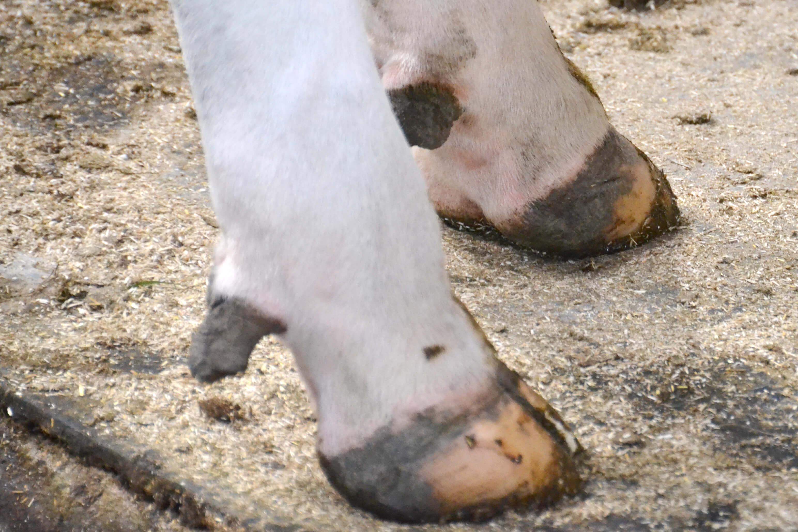 Mortellaro bij koeien