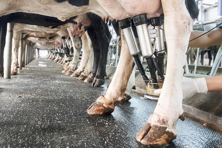 Fosfortekort bij een koe